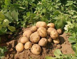 Выращивание картофеля как бизнес: насколько это прибыльно?