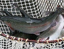 Разведение форели: делаем деньги на продаже рыбы