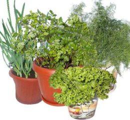 Выращивание зелени: требуемые вложения, перспективы
