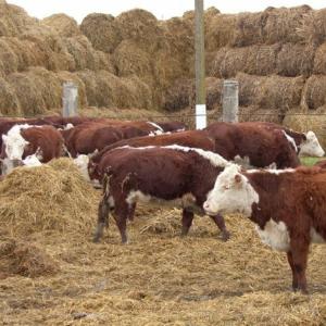 Содержание скота