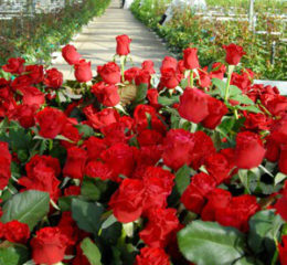 Как начать разведение роз на продажу