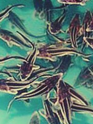 Разведение рыбы стерлядь в аквариуме для бизнеса.