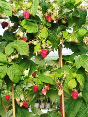 Выращивание малины на плантации для продажи.