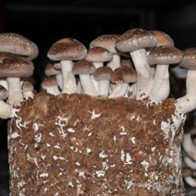 Грибы шиитаке растут в грибном субстрате для реализации.