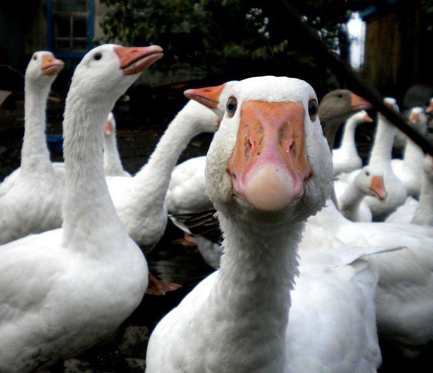 Разведение белых гусей на домашней птицеферме.