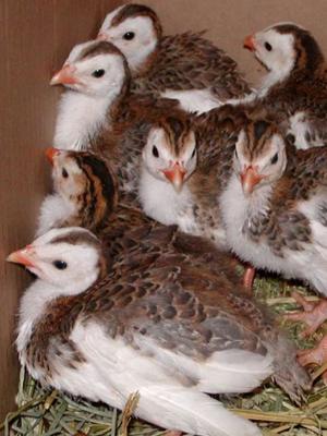 Внешний вид птенцов для птичьего бизнеса.