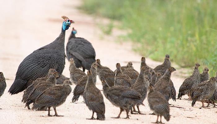 Свободный выгул птиц цесарок на открытом поле.