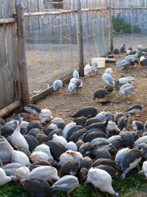 Некоторое количество цесарок разведенных на ферме для бизнеса.