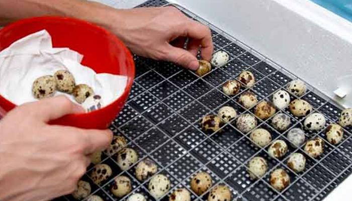 Вариант фасовки перепелиных яиц для реализации.