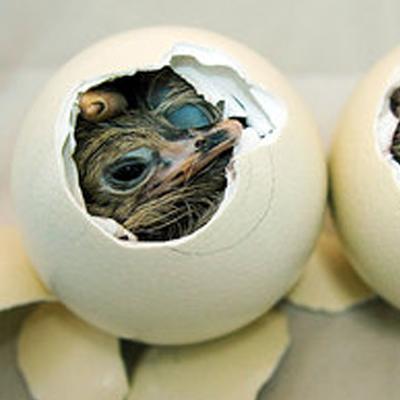 Процесс вылупления маленького страуса из шкарлупы яйца.