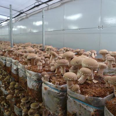 Технология выращивания грибов шиитаке в блоках с субстратом.