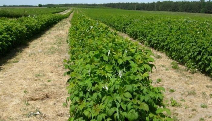 Территория для бизнеса по выращиванию кустов малины.