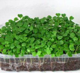 Выращивание микрозелени в домашних условиях