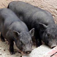Разведение вьетнамских свиней в собственном хозяйстве