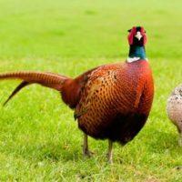 Бизнес идея для сельской местности: разведение и содержание фазанов в домашних условиях