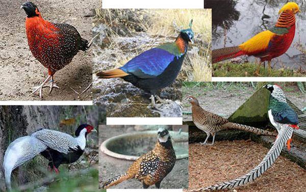 разные фазанов