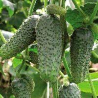 Выращивание огурцов в теплице как бизнес: как организовать прибыльное дело?