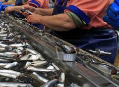 Ручной отбор рыбы для консервов