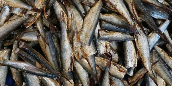 Рыба для производства консервов