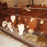 Выращивание бычков на мясо: что предусмотреть?