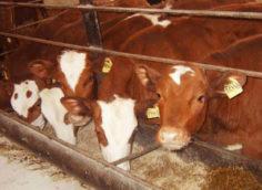 чем кормить скот