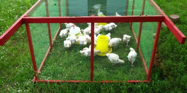 Условыя для выращивания цыплят