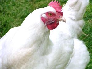 Бройлер курица