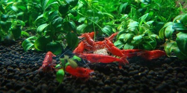 Выращивание креветок в аквариуме