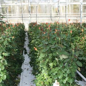 Устройство теплицы для разведения роз