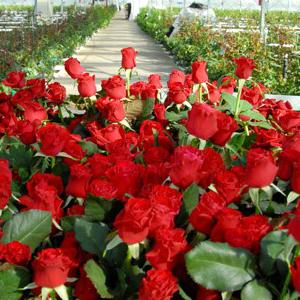 Разведение роз в теплице на продажу