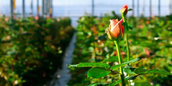 Посадка роз для заработка
