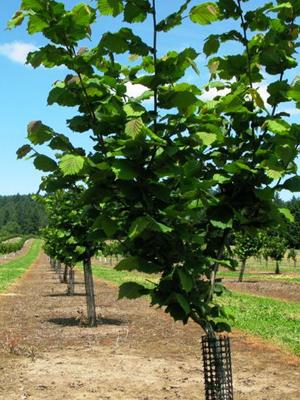 Выращивание дерева для бизнеса по продаже фундука.