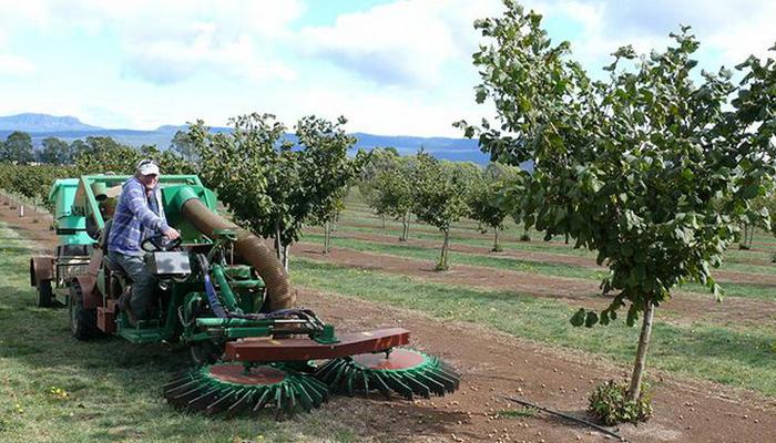 Правила выращивания деревьев фундук.