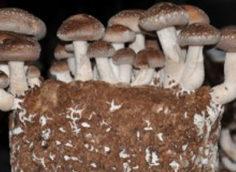 Выращивание грибов шиитаке для бизнеса.