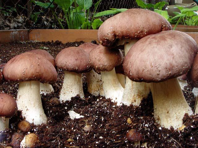 Рассада белых грибов в грибнице для бизнеса.
