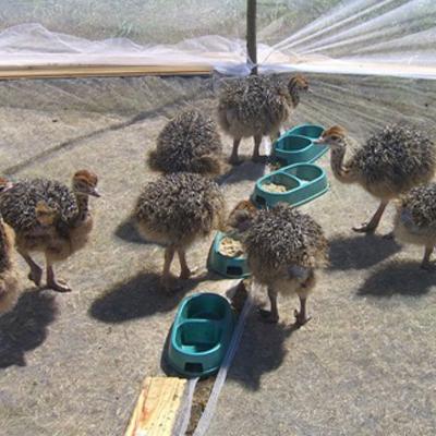 Молодые страусята кушают из кормушки на территории птицефермы.