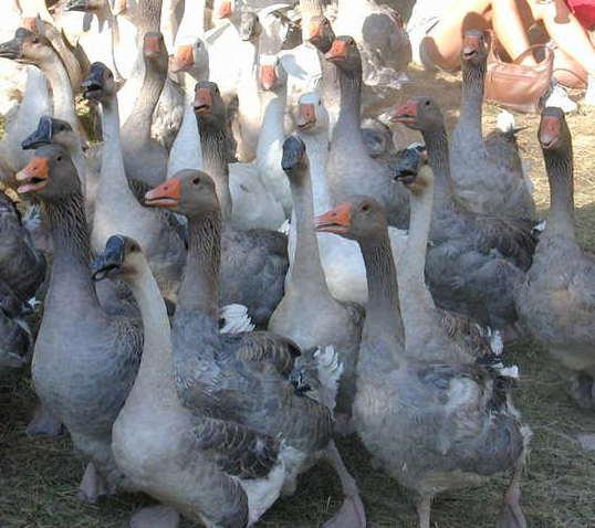 Взрослые гуси для продажи на территории птицефермы.