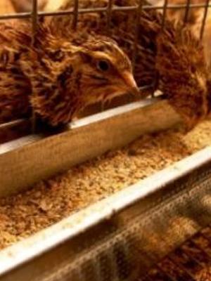 Внешний вид птицы семейства фазановых перепел в клетке..