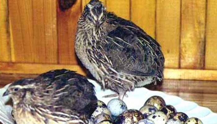 Перепел высиживает перепелиные яйца для бизнеса.