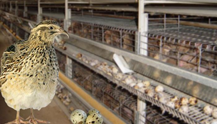 Содержание птиц в клетках для бизнеса с продажей перепелиных яиц.