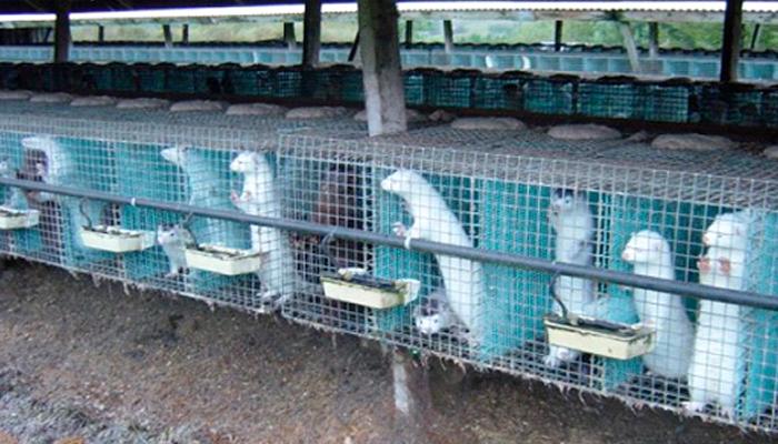 Содержание норок в клетках для мехового бизнеса.