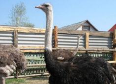 Бизнес план по открытию птицефермы с страусами.