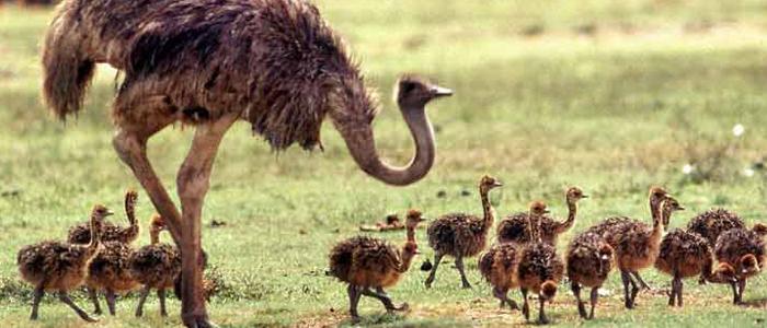 Содержание нескольких страусов на территории птицефермы.