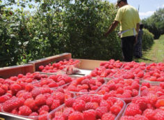 Создать бизнес с нуля по выращиванию малины.