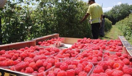 Промышленное выращивание малины как бизнес