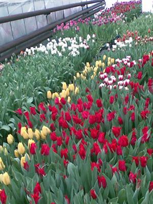 Выращивание тюльпанов в теплице для бизнеса.