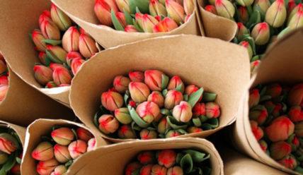 Выращивание тюльпанов как бизнес