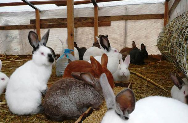Некоторые породы кроликов для разведения.