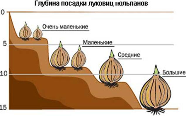 Как правильно посадить луковицу тюльпана.