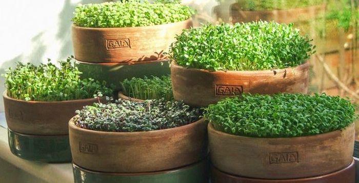выращивание микрозелен